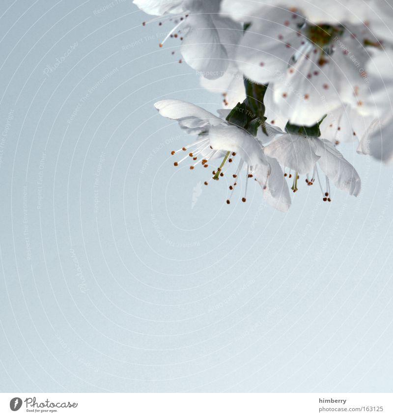 heart of steel Natur schön weiß Baum Blume blau Pflanze Blüte Frühling Freiheit träumen Zufriedenheit frisch Makroaufnahme ästhetisch Frieden