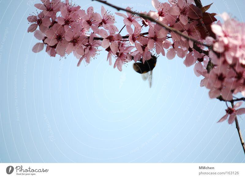 Natürliche Befruchtung Himmel Baum blau Blüte Frühling rosa Ast Blühend Hummel Nektar azurblau Summen