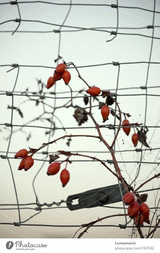 Vita schön Kraft Frucht wild frei Wachstum Sehnsucht Zaun reif Draht Raster Begrenzung Hagebutten Beeren zäh