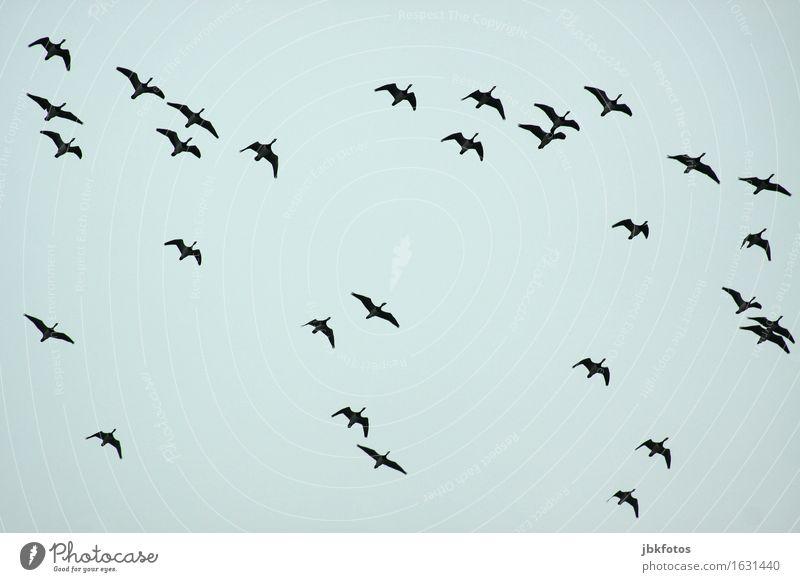 Orientierung / in eine wärmere Gegend Lebensmittel Ernährung Umwelt Natur Schönes Wetter Tier Wildtier Vogel Gans Graugans Kanadagans Schwarm ästhetisch