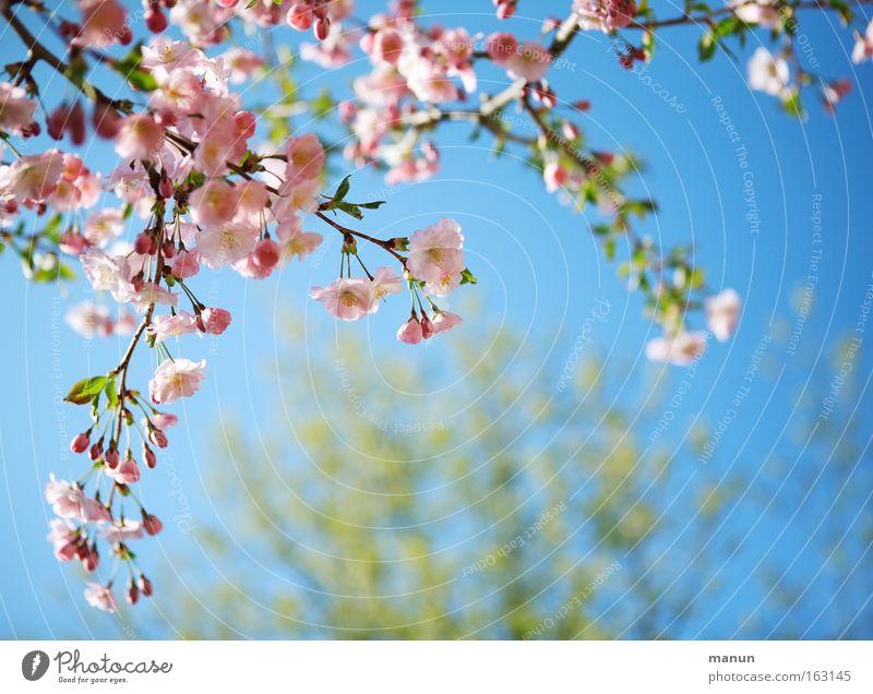 Sonnige Aussichten blau schön weiß Wärme Frühling Blüte Hintergrundbild rosa Wetter Ast Warmherzigkeit Kirsche Gartenbau Kirschblüten Baum Frucht