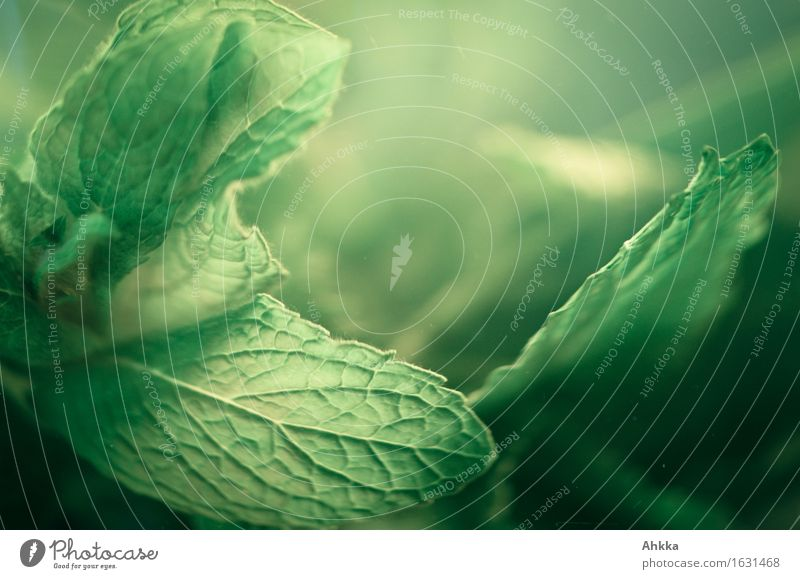 Minzblatt vor einem weichen grünen Hintergrund in der Nahaufnahme Kräuter & Gewürze Ernährung Bioprodukte Getränk Erfrischungsgetränk Tee Gesundheit Meditation