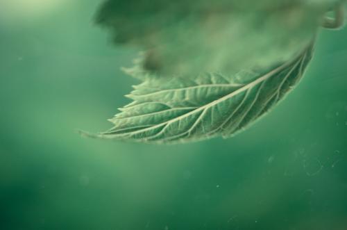Tee aus Minze: Minzblatt vor einem weichen grünen Hintergrund Kräuter & Gewürze Minzeblatt Ernährung Bioprodukte Vegetarische Ernährung Getränk