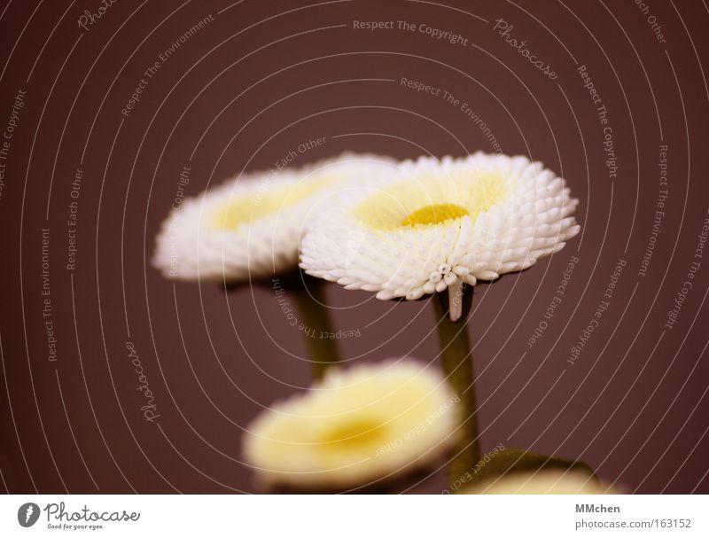 Trio Gänseblümchen weiß grün braun Blüte Stengel Natur Blume Frühling Wachstum Makroaufnahme Nahaufnahme