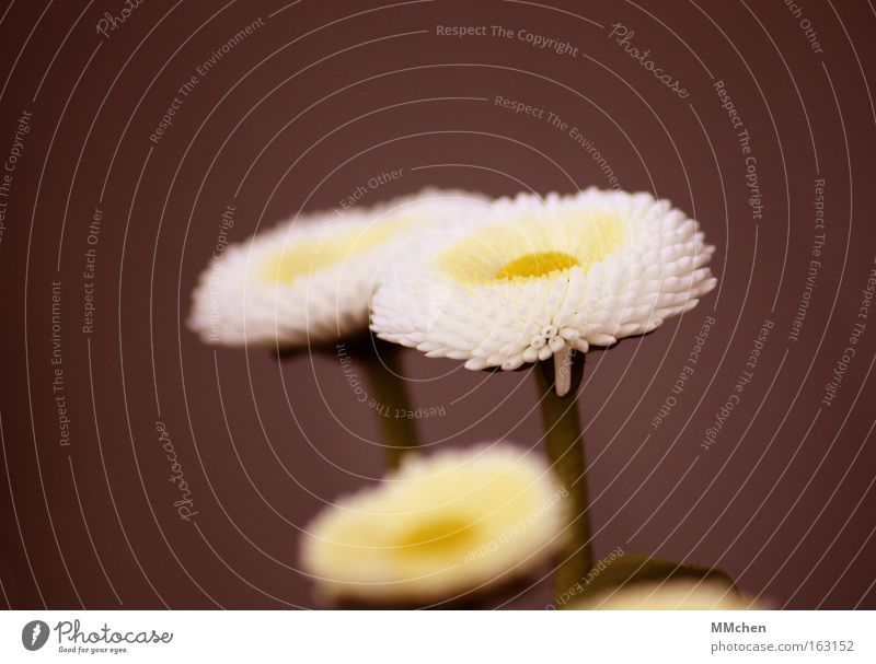 Trio Natur weiß Blume grün Blüte Frühling braun Wachstum Stengel Gänseblümchen