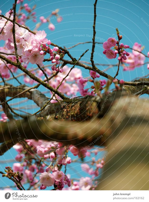 ja, panische gierhirsche Himmel blau schön Frühling Blüte rosa Park Blühend Blütenknospen Zierkirsche
