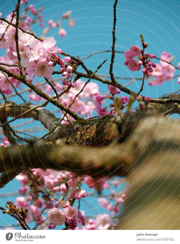 ja, panische gierhirsche Zierkirsche Blüte Blütenknospen Frühling Blühend Himmel blau rosa Park schön