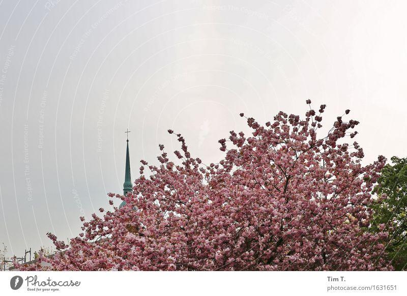 Prenzlauer Berg Berlin Stadt Hauptstadt Stadtzentrum Altstadt Religion & Glaube Kirche Baum Blüte Frühling Farbfoto Außenaufnahme Menschenleer Tag