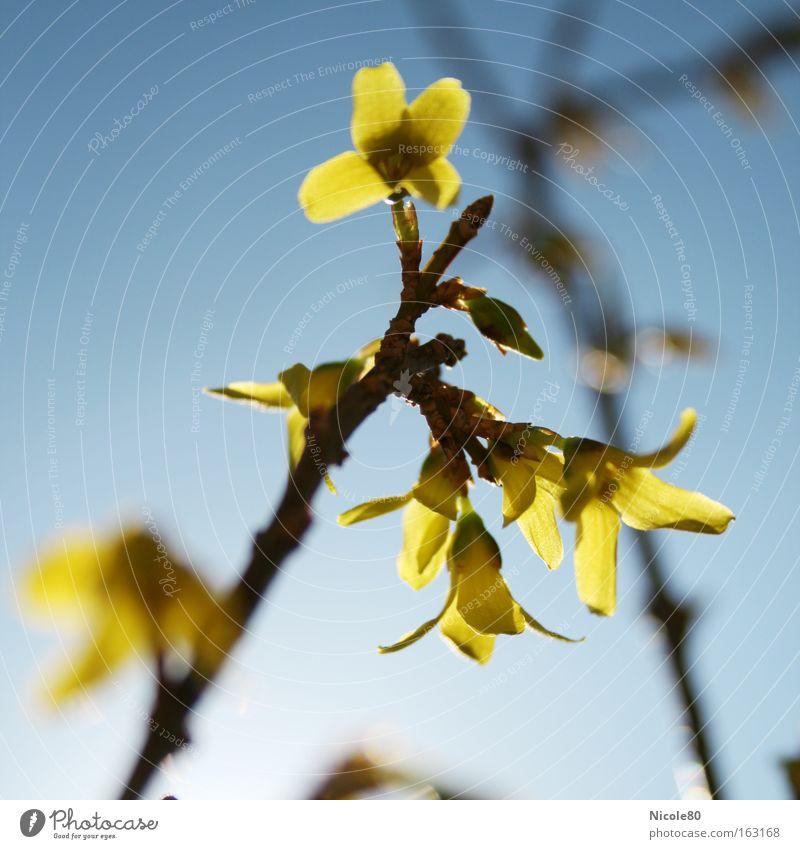 Goldglöckchen Natur Frühling Blüte gelb gold Forsithie Zweig Frühblüher Zierstrauch gelbe Blüten Schärfeverlauf Farbfoto Nahaufnahme Gegenlicht