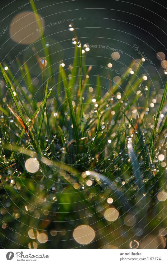 Morgentau Rasen Gras Wiese Wassertropfen Tropfen Tau Sonnenaufgang frisch Regen glänzend nass grün Gegenlicht Frühling Makroaufnahme Nahaufnahme