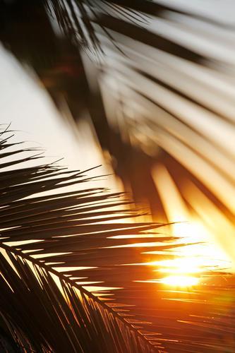 Morgens im Paradies Natur Konzentration Kraft Sonne Sonnenaufgang paradiesisch Palme Palmenwedel Palmentapete Sonnenstrahlen heiß Fuerteventura Idylle Erholung