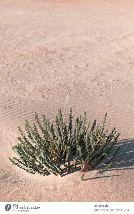 Wüstengrün Umwelt Natur ästhetisch unten Leben Überleben trocken Wüstenpflanze Wachstum Wärme Sand Sahara Pflanze trist Einsamkeit Ödland Farbfoto mehrfarbig