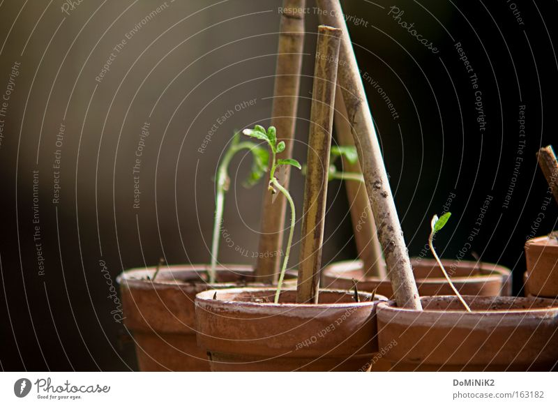 Tomaten beim Wachsen Garten Gemüse Samen Topf