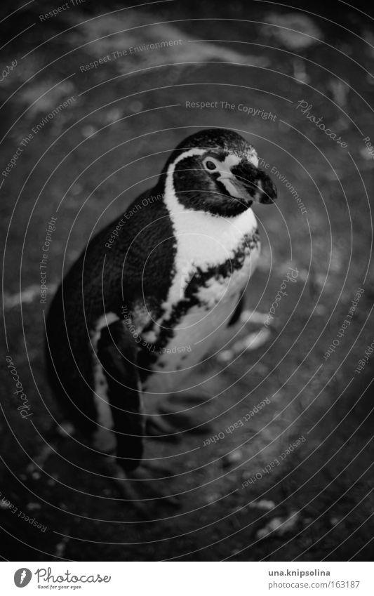pi-pa-pinguin Tier kalt Vogel Eis Frost Zoo Anzug gefangen Pinguin Frack Smoking Südpol