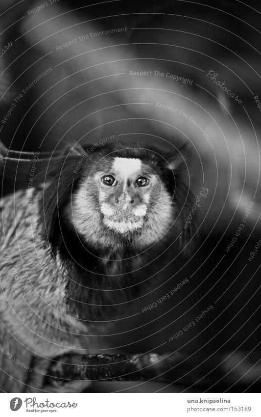 bi-ba-büscheläffchen Zoo Tier Fell dunkel Affen Äffchen Menschenaffen Brasilien gefangen Auge Nase Ohr Säugetier Schwarzweißfoto