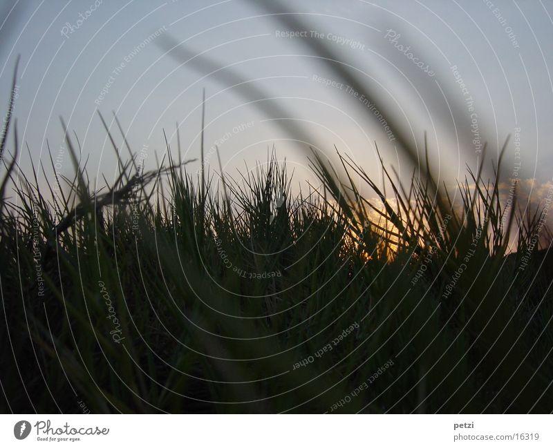 Sonnuntergang im Gras Himmel Sonne Strand Wolken Abenddämmerung
