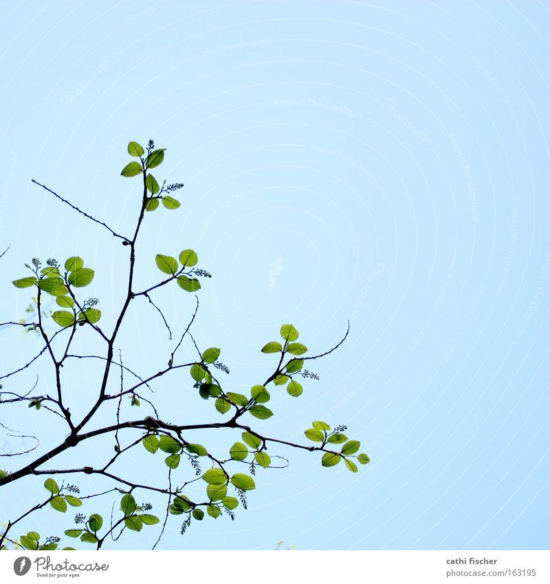 frühlings grün Himmel Natur blau grün Farbe Blatt Frühling braun Blühend Ast Zweig Blütenknospen Blattknospe dezent