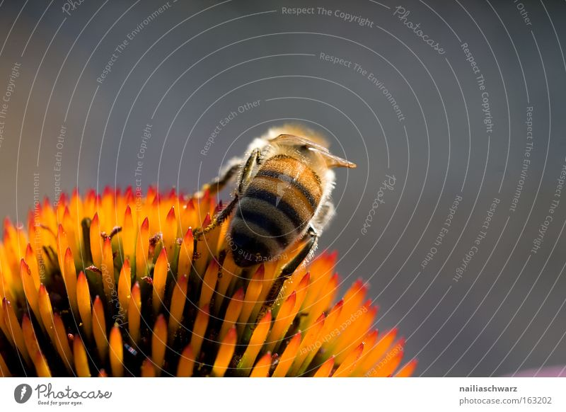 Honigsammler Honigbiene Biene Nektar Pollen Insekt Imker orange rosa grün Blume Blüte Pflanze Ernährung