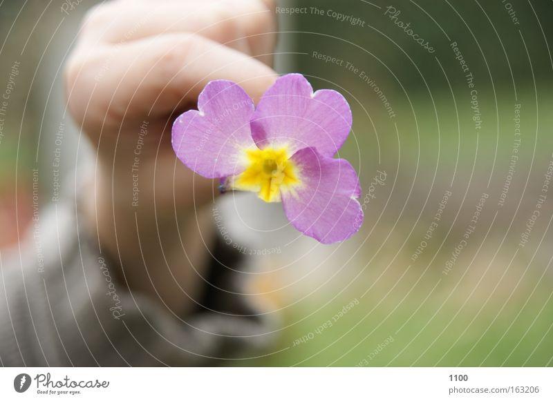 Frühling zeigen Blume kaputt Blüte Blütenblatt Blütenknospen Hand Finger gelb rosa zart Makroaufnahme Nahaufnahme herzeigen