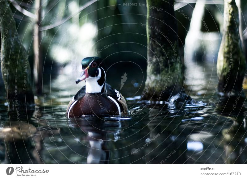 DUCK SEASON Ente Erpel Stockente Wasser Vogel Mangrove Küste Seeufer Flussufer Baum Bach Im Wasser treiben Schwimmen & Baden