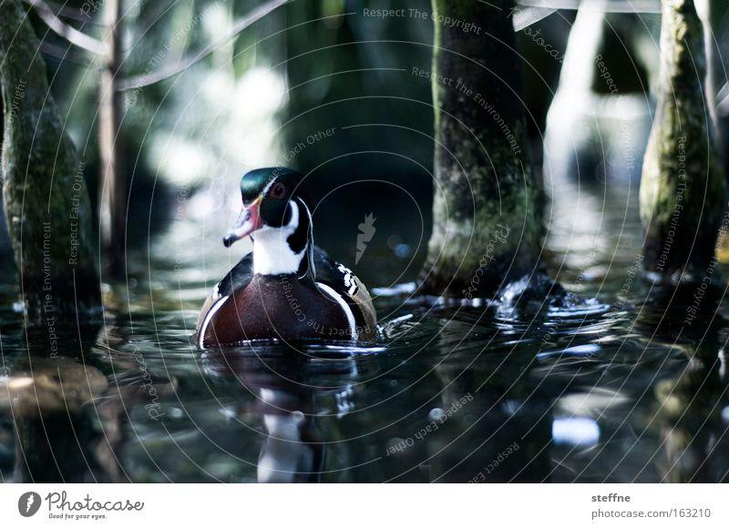 DUCK SEASON Wasser Baum See Vogel Küste Fluss Seeufer Bach Ente Flussufer Erpel Stockente Mangrove