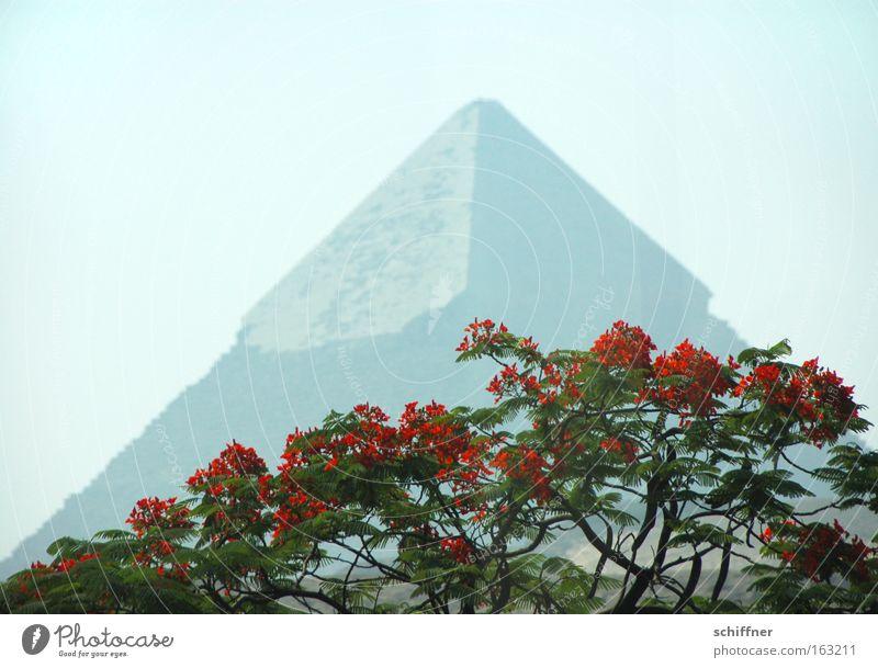 Fata Morgana Baum rot Ferne Blüte Afrika Spitze Ägypten Pyramiden Gizeh Kairo Pharaonen Akazie