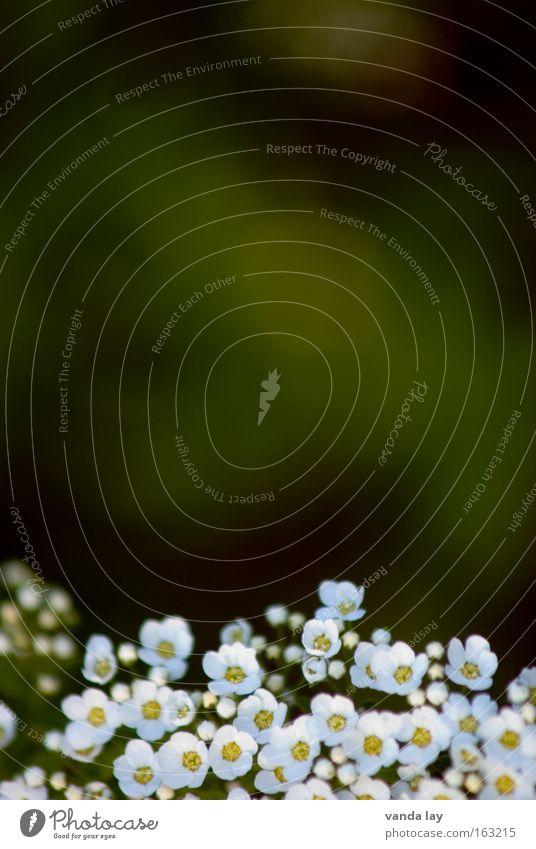 Frühlingshintergrund Pflanze grün Blume Blüte klein Hintergrundbild Sträucher viele fein Muttertag Makroaufnahme