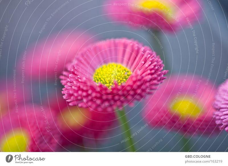 spring '09 Farbfoto mehrfarbig Nahaufnahme Detailaufnahme Makroaufnahme Unschärfe Natur Pflanze Frühling Blume Blüte rosa Fröhlichkeit Frühlingsgefühle flower