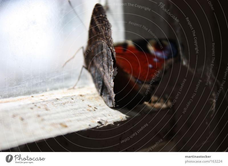 Schmetterling Tagpfauenauge blau Hütte Staub rot Fenster Fensterscheibe Fühler Schatten Licht schwarz weiß Fensterrahmen verfallen