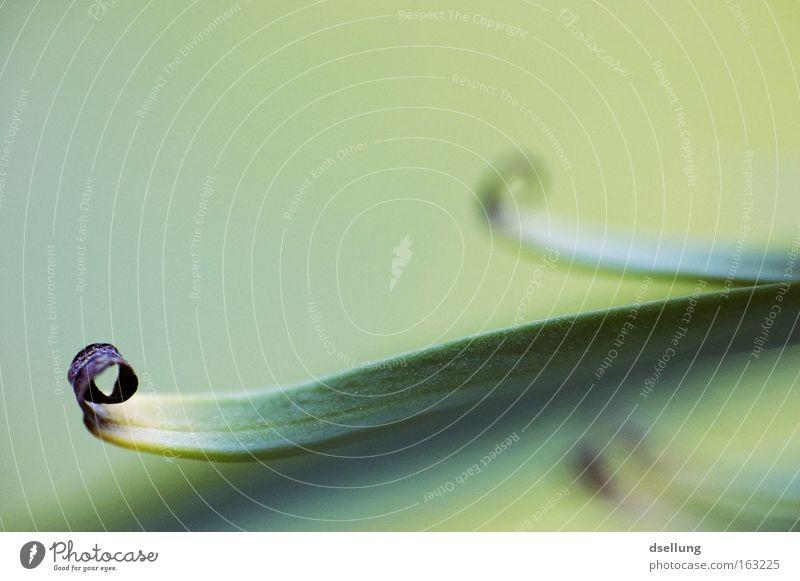 Frühlingsrolle II grün Pflanze Sommer trocken Rolle Dürre vertrocknet getrocknet durstig Blattgrün verdursten verdurstet