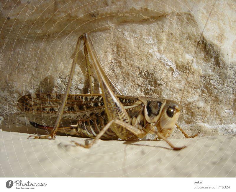 Was sitzt den da? Mauer Fühler krabbeln hüpfen Sommer Stein Felsen Heuschreck Auge Beine