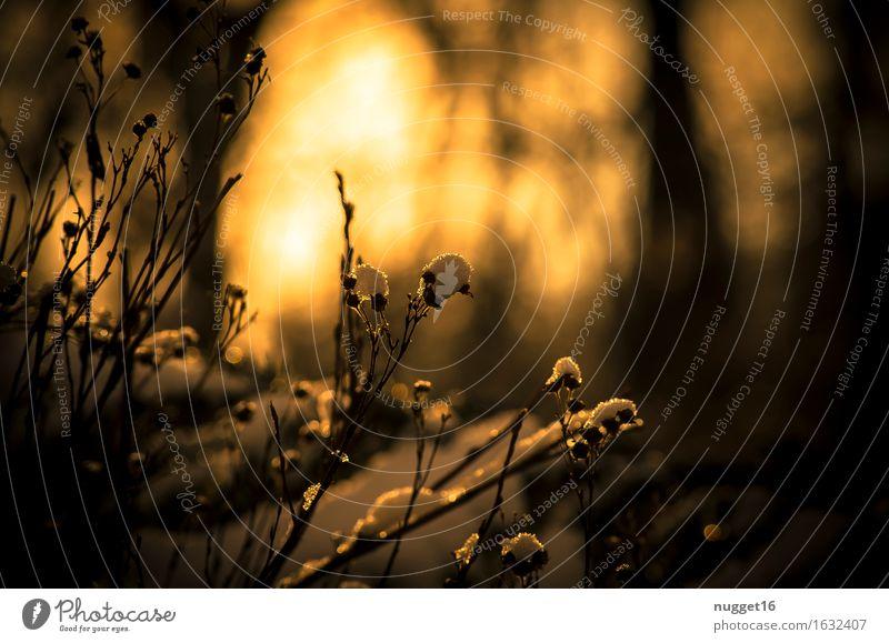 ein schöner Winterabend Natur Pflanze Sonnenlicht Wetter Schönes Wetter Schnee Sträucher Garten Park Wald Erholung ästhetisch dunkel kalt natürlich braun orange
