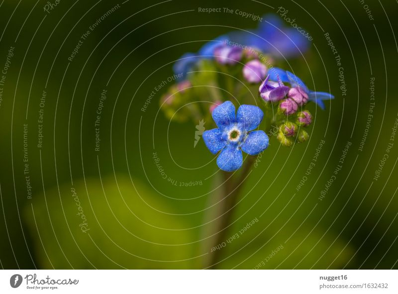 Vergißmeinnicht Umwelt Natur Pflanze Frühling Sommer Schönes Wetter Blüte Wildpflanze Garten Park Wiese Wald Duft einfach Freundlichkeit schön klein natürlich