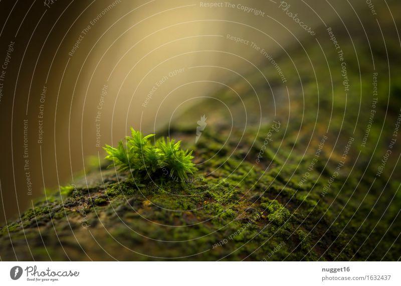 die magische Kraft des Lichts Umwelt Natur Pflanze Frühling Sommer Herbst Moos Wildpflanze Wald Urwald Wachstum einfach nah natürlich schön gelb grün Gefühle