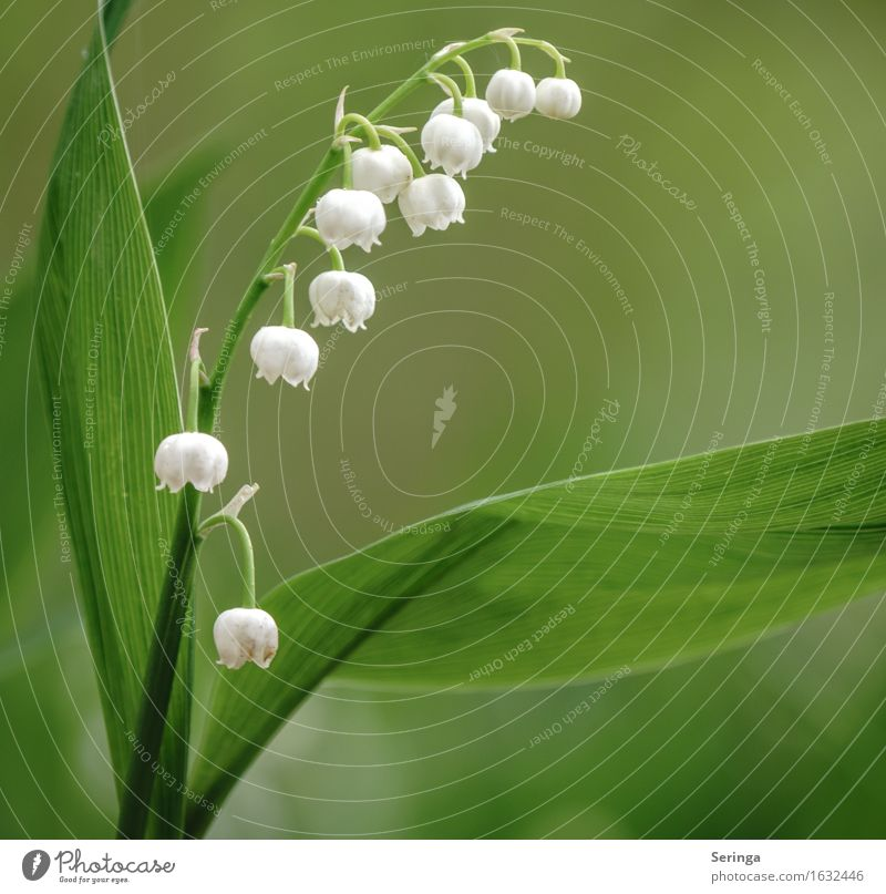 Maiglöckchen ( Convallaria majalis ) Natur Pflanze Tier Frühling Wildpflanze Park Wald Blühend Duft Gift Farbfoto mehrfarbig Außenaufnahme Nahaufnahme
