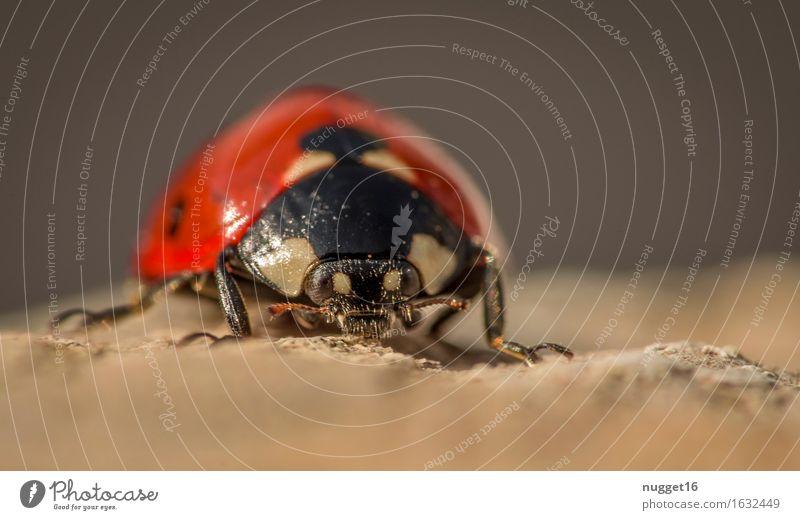 kleine Monster Natur Tier Garten Wildtier Käfer Marienkäfer 1 krabbeln sitzen stehen braun rot schwarz Frühlingsgefühle Tierliebe friedlich ruhig Gelassenheit