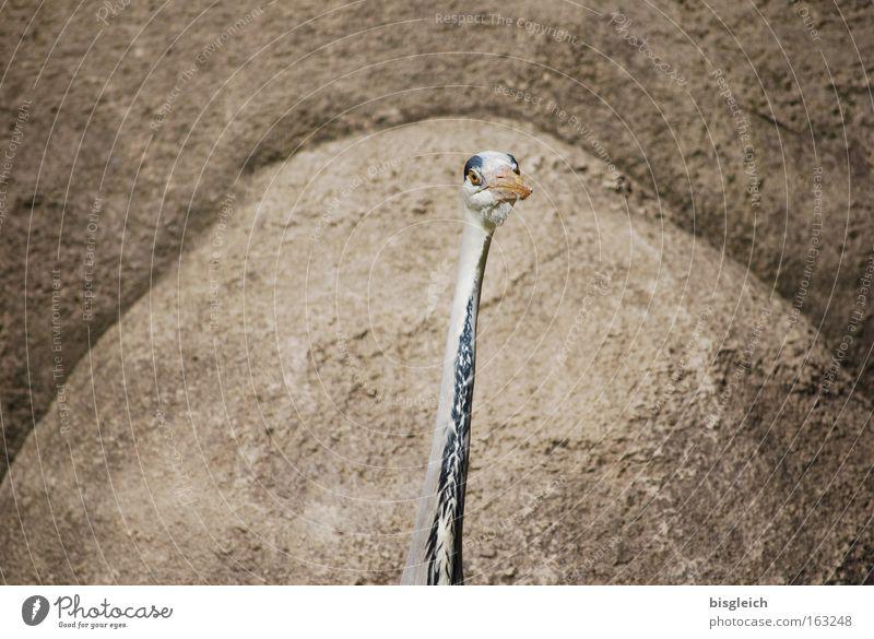 Reiher Farbfoto Außenaufnahme Menschenleer Textfreiraum links Textfreiraum rechts Tierporträt schön Felsen Vogel 1 dünn braun Konzentration Hals Kopf Schnabel