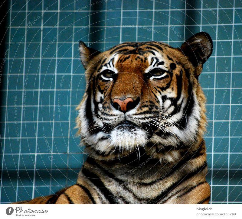 Tiger Farbfoto Innenaufnahme Menschenleer Kunstlicht Tierporträt Wildtier Katze 1 Streifen Kraft Konzentration Gitter Kopf Ohr Auge Fliesen u. Kacheln gefangen