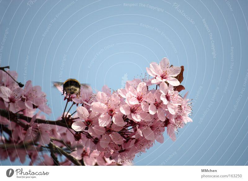 Landeanflug Baum Blüte Frühling Park rosa fliegen Insekt Ast Blühend Flugzeuglandung Hummel Flugschau