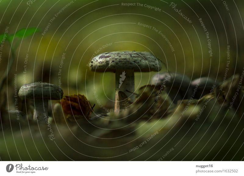 Herbstzeit Umwelt Natur Pflanze Erde Pilz Wald dunkel lecker nah natürlich braun grün Farbfoto Außenaufnahme Nahaufnahme Textfreiraum oben Textfreiraum unten
