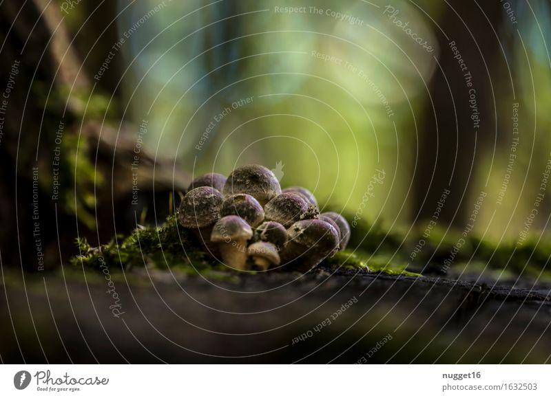 Herbststimmung Pilz Umwelt Natur Pflanze Erde Schönes Wetter Wald ästhetisch nah braun grün ruhig Farbfoto Außenaufnahme Nahaufnahme Menschenleer