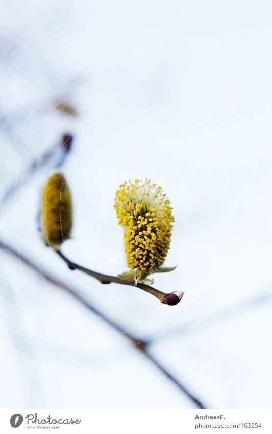 Pollenalarm!! Frühling Blüte Ast Zweig Blütenknospen Weide Weide Pollen Blattknospe Weidenkätzchen