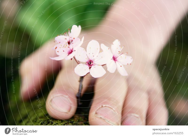 Little flowers Blume Blüte Blütenblatt Kirschblüten Blühend Frühling Sommer Hand Finger sanft Natur