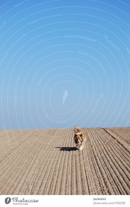 Hund II Himmel blau Bewegung Sand Feld Wüste Mischling Collie