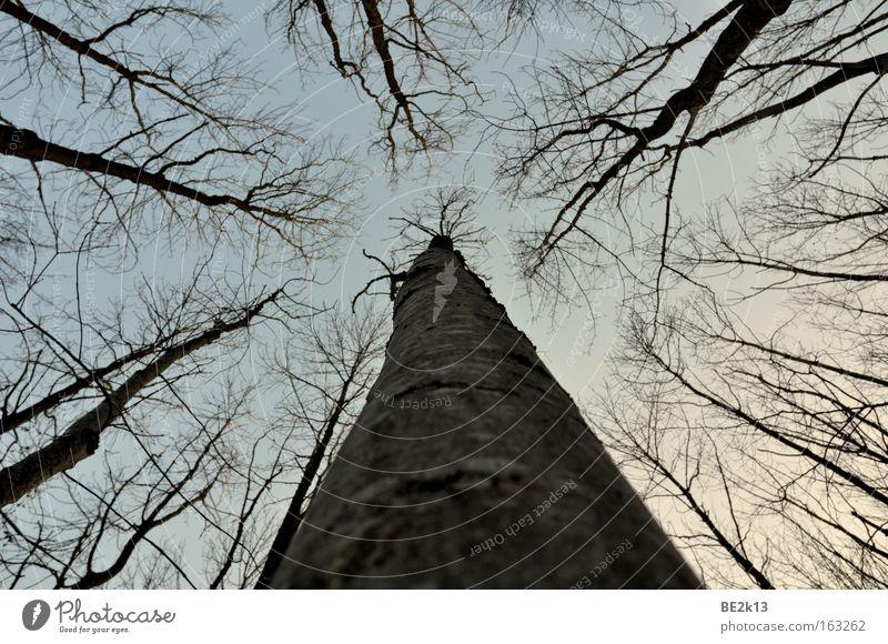 UpTheTree Himmel Baum blau Wald grau Baumstamm Ast Abenddämmerung Baumrinde
