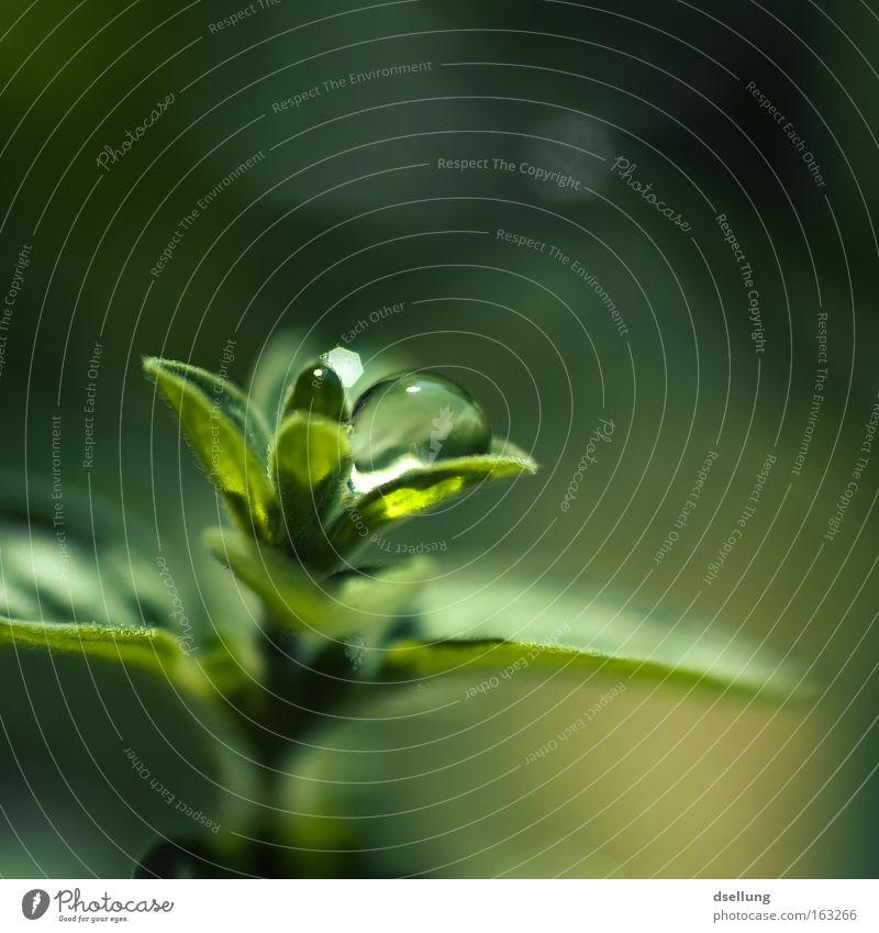 The Lotus Effect II Natur Pflanze schön grün Blatt Frühling Gesundheit klein Regen glänzend Wachstum frisch Wassertropfen nass Schönes Wetter Sauberkeit