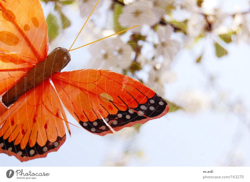 Flieg Schmetterling Flieg weiß Frühling hell orange zart Kirschblüten sommerlich