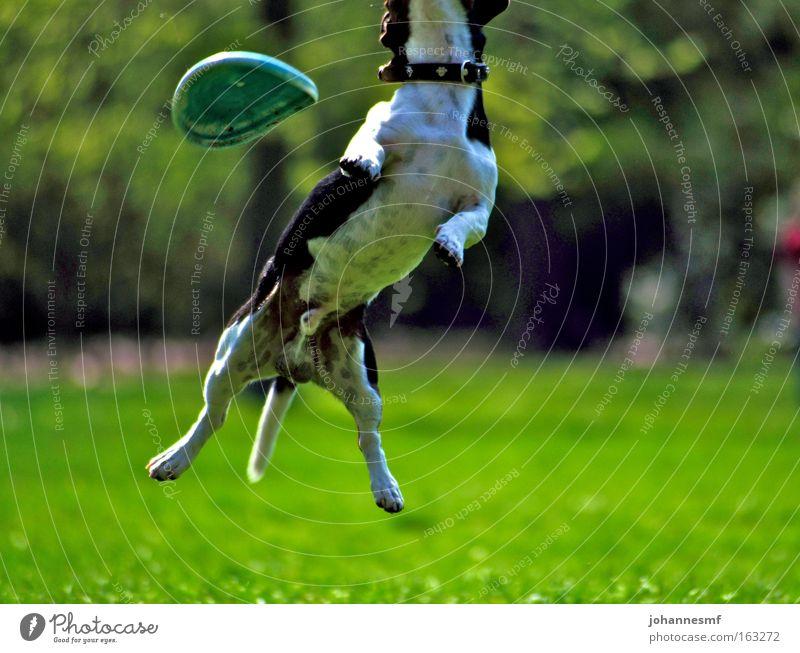 Daneben Hund Frisbee Park Garten Gras springen Wiese Dynamik Schönes Wetter Freizeit & Hobby grün Halsband Kraft Tier Pfote Schwanz Säugetier Frühling