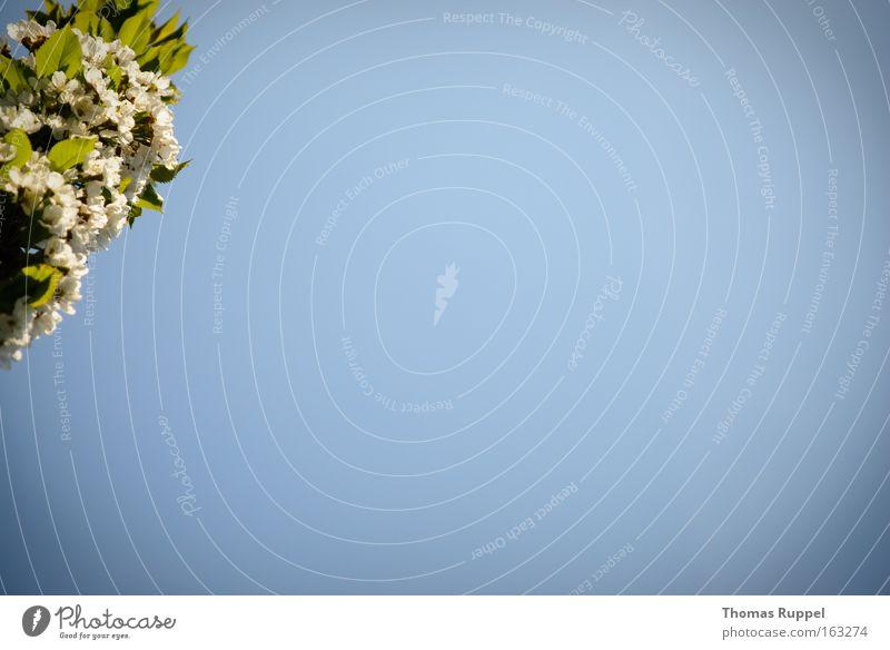 Blütenast Natur Himmel weiß Baum grün blau Pflanze Blatt Frühling Ast Vertrauen Schönes Wetter Zweig Wolkenloser Himmel