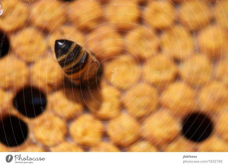 abgetaucht Lebensmittel Süßwaren Ernährung Honig Umwelt Klima Schönes Wetter Tier Nutztier Biene 1 Schwarm Fröhlichkeit nachhaltig Neugier Honigbiene Imkerei